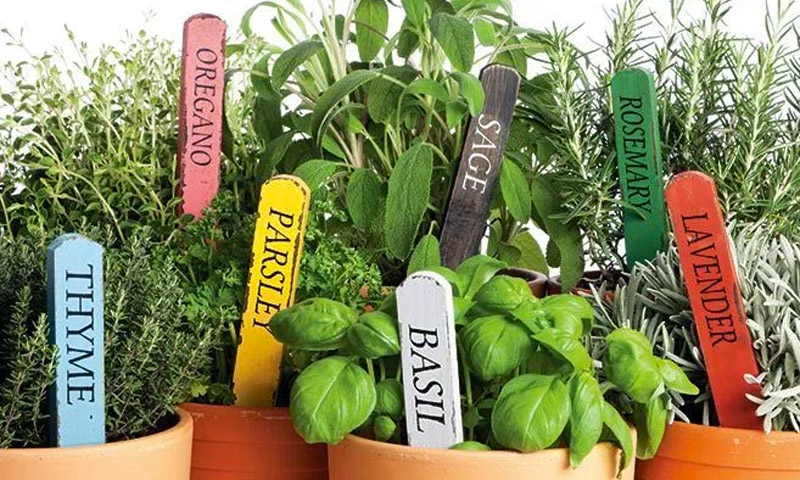 Fresh Herb Plants From Bergman Garden Center Quincy Il